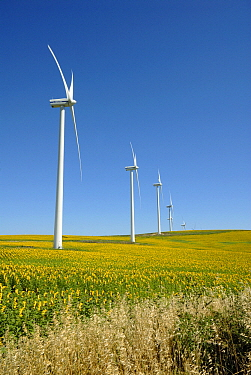 Common Sunflower (Helianthus annuus) fields near wind turbines, Andalucia, Spain  -  Simon Littlejohn/ NiS