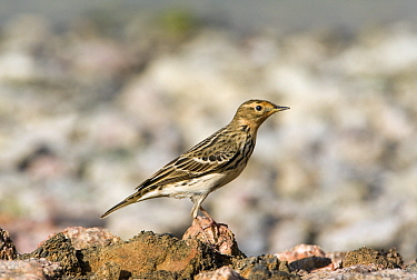Red-throated Pipit (Anthus cervinus), Israel  -  Otto Plantema/ Buiten-beeld