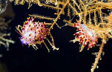 Nudibranch (Flabellina sp) pair feeding on hydroids, Red Sea, Egypt  -  Dray van Beeck/ NiS