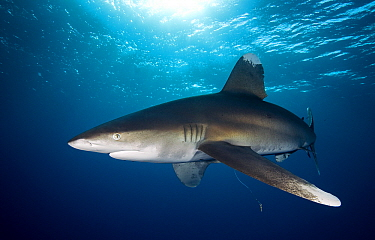 Oceanic White-tip Shark (Carcharhinus longimanus) swimming, Red Sea, Egypt  -  Dray van Beeck/ NiS
