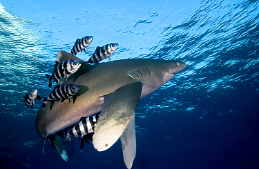 Oceanic White-tip Shark (Carcharhinus longimanus) followed by Pilot Fish (Naucrates ductor)that keep it parasite free, Red Sea, Egypt  -  Dray van Beeck/ NiS