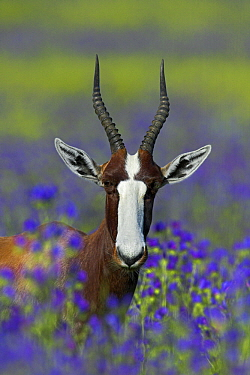 Bontebok (Damaliscus pygargus) buck, Overberg, South Africa  -  Martin Woike/ NiS