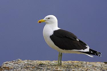 Kelp Gull (Larus dominicanus), Simon's Town, South Africa  -  Martin Woike/ NiS
