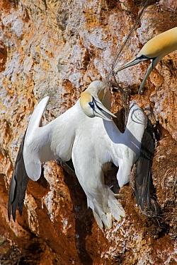 Northern Gannet (Morus bassanus) tangled up in fishing line, Helgoland, Germany  -  Heike Odermatt