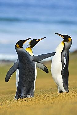King Penguin (Aptenodytes patagonicus) trio, Falkland Islands  -  Heike Odermatt