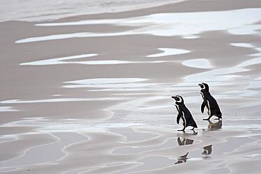 Magellanic Penguin (Spheniscus magellanicus) walking on beach, Falkland Islands  -  Heike Odermatt