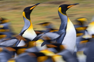 King Penguin (Aptenodytes patagonicus) pair running through the colony, Falkland Islands  -  Heike Odermatt