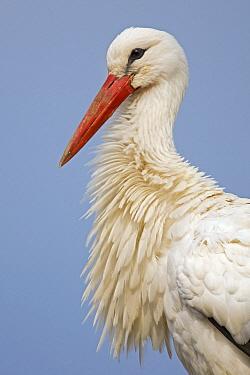 White Stork (Ciconia ciconia), Switzerland  -  Heike Odermatt
