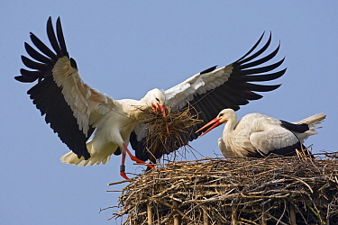 White Stork (Ciconia ciconia) pair building their nest, Switzerland  -  Heike Odermatt