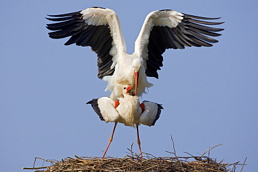 White Stork (Ciconia ciconia) mating on the nest, Switzerland  -  Heike Odermatt
