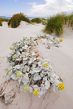 Silver Ragwort (Senecio bicolor) flowering in the dunes, Falkland Islands  -  Heike Odermatt