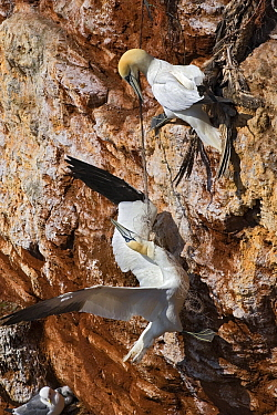 Northern Gannet (Morus bassanus) tangled up in fishing line, Helgoland, Germany  -  Heike Odermatt