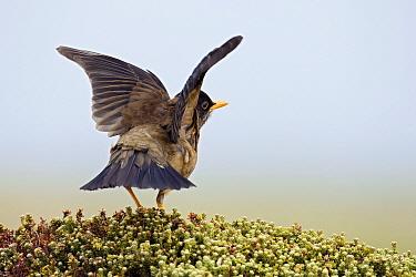 Falkland Thrush (Turdus falcklandii) spreading wings, Falkland Islands  -  Heike Odermatt