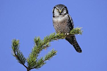 Northern Hawk Owl (Surnia ulula), Canada  -  Chris Schenk/ Buiten-beeld