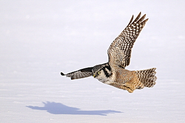 Northern Hawk Owl (Surnia ulula) hunting for prey under the snow, Canada  -  Chris Schenk/ Buiten-beeld