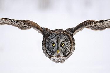 Great Gray Owl (Strix nebulosa) flying, Canada  -  Chris Schenk/ Buiten-beeld