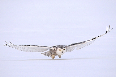 Snowy Owl (Nyctea scandiaca) flying over snow, Canada  -  Chris Schenk/ Buiten-beeld