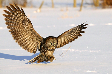 Great Gray Owl (Strix nebulosa) hunting prey under the snow, Canada  -  Chris Schenk/ Buiten-beeld