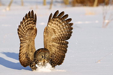 Great Gray Owl (Strix nebulosa) striking prey under the snow, Canada  -  Chris Schenk/ Buiten-beeld