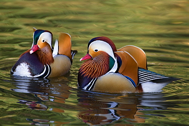 Mandarin Duck (Aix galericulata) drakes on water, Tokyo, Japan  -  Chris Schenk/ Buiten-beeld