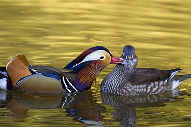 Mandarin Duck (Aix galericulata) pair courting, Tokyo, Japan  -  Chris Schenk/ Buiten-beeld