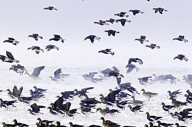 Red-breasted Goose (Branta ruficollis) flock, Bulgaria  -  Chris Schenk/ Buiten-beeld