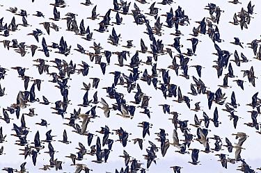Red-breasted Goose (Branta ruficollis) flock flying, Bulgaria  -  Chris Schenk/ Buiten-beeld