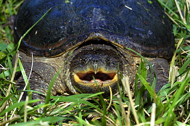Snapping Turtle (Chelydra serpentina) with mouth open in a defensive posture, Fishing River, Kearney, Missouri  -  Philip Friskorn/ NiS