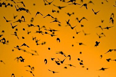 Red-billed Quelea (Quelea quelea) flock flying at dusk, Mokolodi Nature Reserve, Botswana  -  Vincent Grafhorst