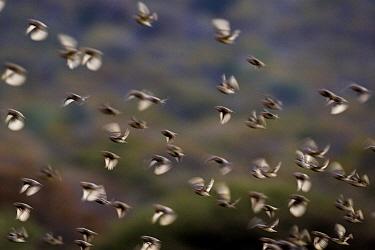 Red-billed Quelea (Quelea quelea) flock flying, Mokolodi Nature Reserve, Botswana  -  Vincent Grafhorst