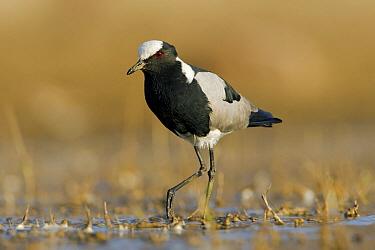 Blacksmith Lapwing (Vanellus armatus) wading in shallow water, Gaborone Dam, Gaborone, Botswana  -  Vincent Grafhorst