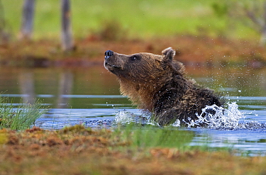 Brown Bear (Ursus arctos) shaking its fur in lake, northeast Finland  -  Winfried Wisniewski