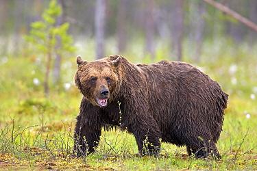 Brown Bear (Ursus arctos) in a bog, Finland  -  Winfried Wisniewski
