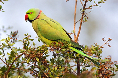 Rose-ringed Parakeet (Psittacula krameri) male, Keoladeo National Park, India  -  Otto Plantema/ Buiten-beeld