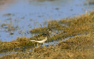 Greater Painted-snipe (Rostratula benghalensis) on shore, Keoladeo National Park, India  -  Otto Plantema/ Buiten-beeld