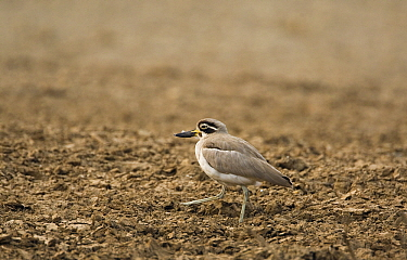 Great Thick-knee (Burhinus recurvirostris) walking on farmland, Keoladeo National Park, India  -  Otto Plantema/ Buiten-beeld