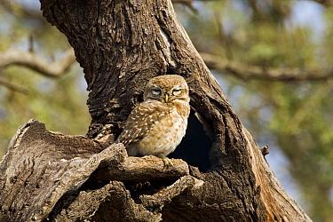 Spotted Owlet (Athene brama) sleeping in tree, Keoladeo National Park, India  -  Otto Plantema/ Buiten-beeld