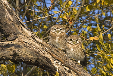 Spotted Owlet (Athene brama) pair perched on a branch, Keoladeo National Park, India  -  Otto Plantema/ Buiten-beeld