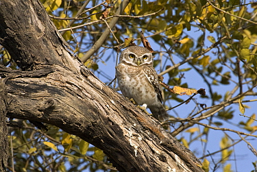 Spotted Owlet (Athene brama), Keoladeo National Park, India  -  Otto Plantema/ Buiten-beeld