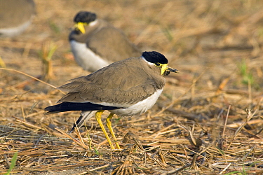 Yellow-wattled Lapwing (Vanellus malarbaricus) pair, Keoladeo National Park, India  -  Otto Plantema/ Buiten-beeld