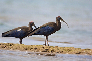 Red-naped Ibis (Pseudibis papillosa) pair at water's edge, Keoladeo National Park, India  -  Otto Plantema/ Buiten-beeld