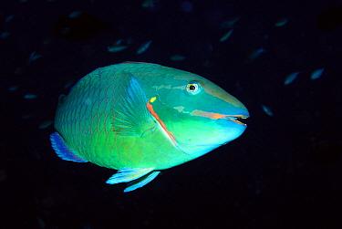 Stoplight Parrotfish (Sparisoma viride), Bonaire, Netherlands Antilles, Caribbean  -  Hans Leijnse/ NiS