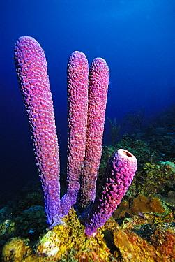Stove Pipe Sponge (Aplysina archeri), Bonaire, Netherlands Antilles  -  Hans Leijnse/ NiS