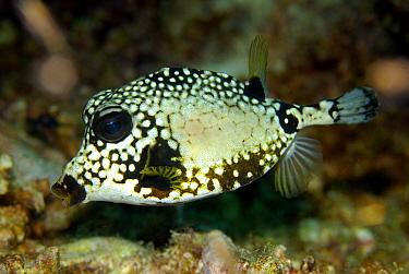 Smooth Trunkfish (Lactophrys triqueter), Bonaire, Netherlands Antilles, Caribbean  -  Hans Leijnse/ NiS