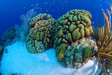 Boulder Star Coral (Montastraea annularis) on reef, Bonaire, Netherlands Antilles, Caribbean  -  Hans Leijnse/ NiS