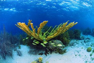 Elkhorn Coral (Acropora palmata) on reef with school of fish, Bonaire, Netherlands Antilles  -  Hans Leijnse/ NiS