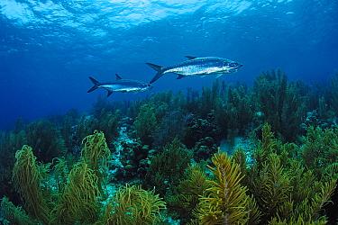 Atlantic Tarpon (Megalops atlantica) pair swimming over seaweed, Bonaire, Netherlands Antilles  -  Hans Leijnse/ NiS