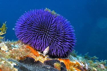 Sea Urchin (Sphaerechinus granularis), Azores, Atlantic Ocean  -  Hans Leijnse/ NiS