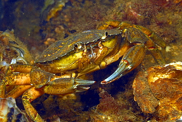 Common Shore Crab (Carcinus maenas), Oosterschelde National Park, Netherlands  -  Hans Leijnse/ NiS