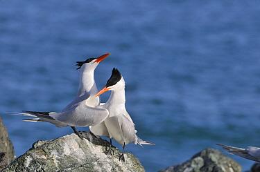 Caspian Tern (Hydroprogne caspia) pair courting, Tobago  -  Jan Baks/ NiS